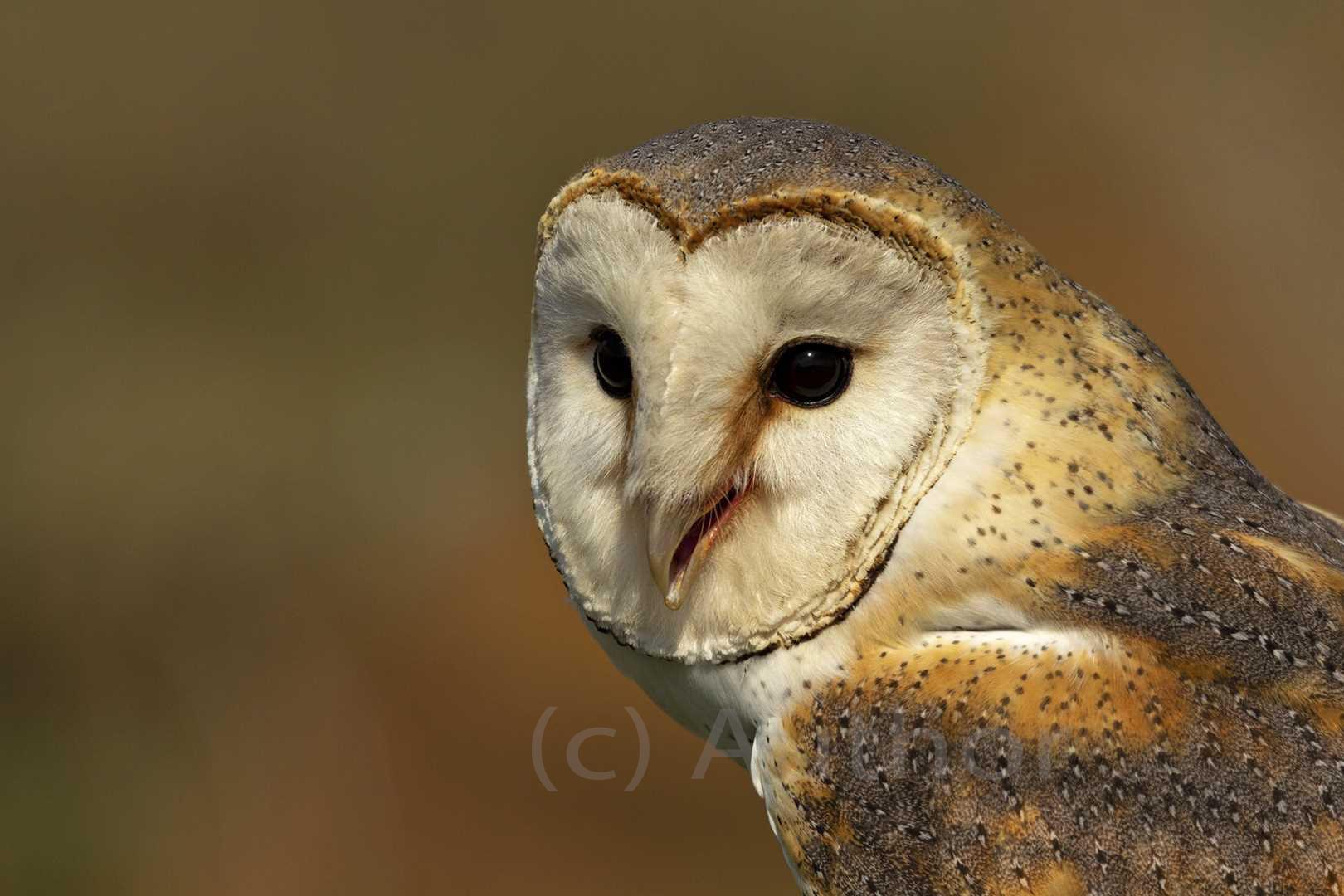 2_na_Barn Owl_Tony Wilson