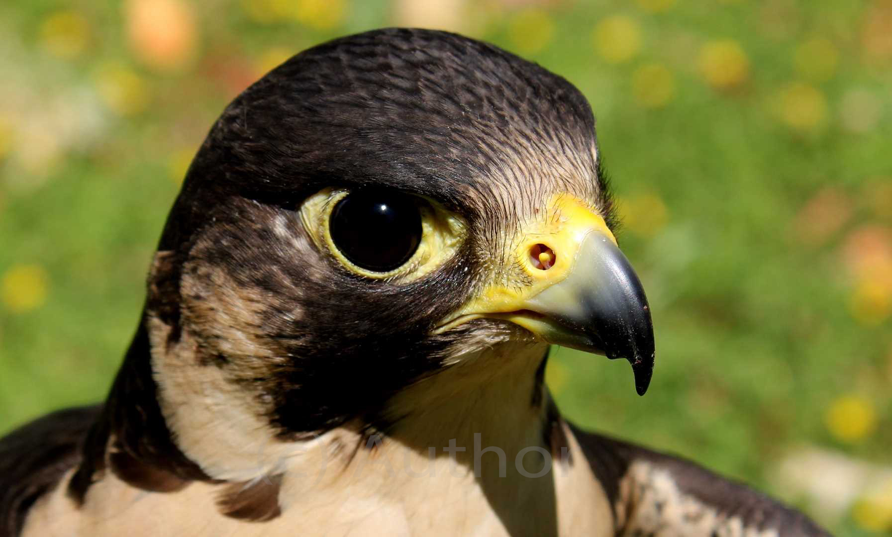 3_NA_Falcon Portrait _Bianca Holburn