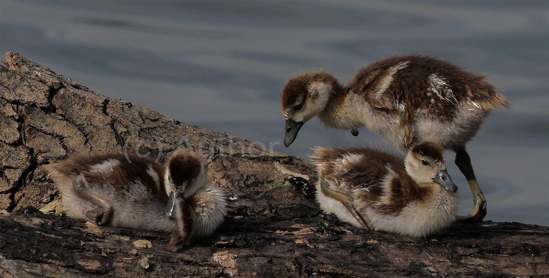 3_na_Egyptian Geese Goslings_Brian Kleinwort