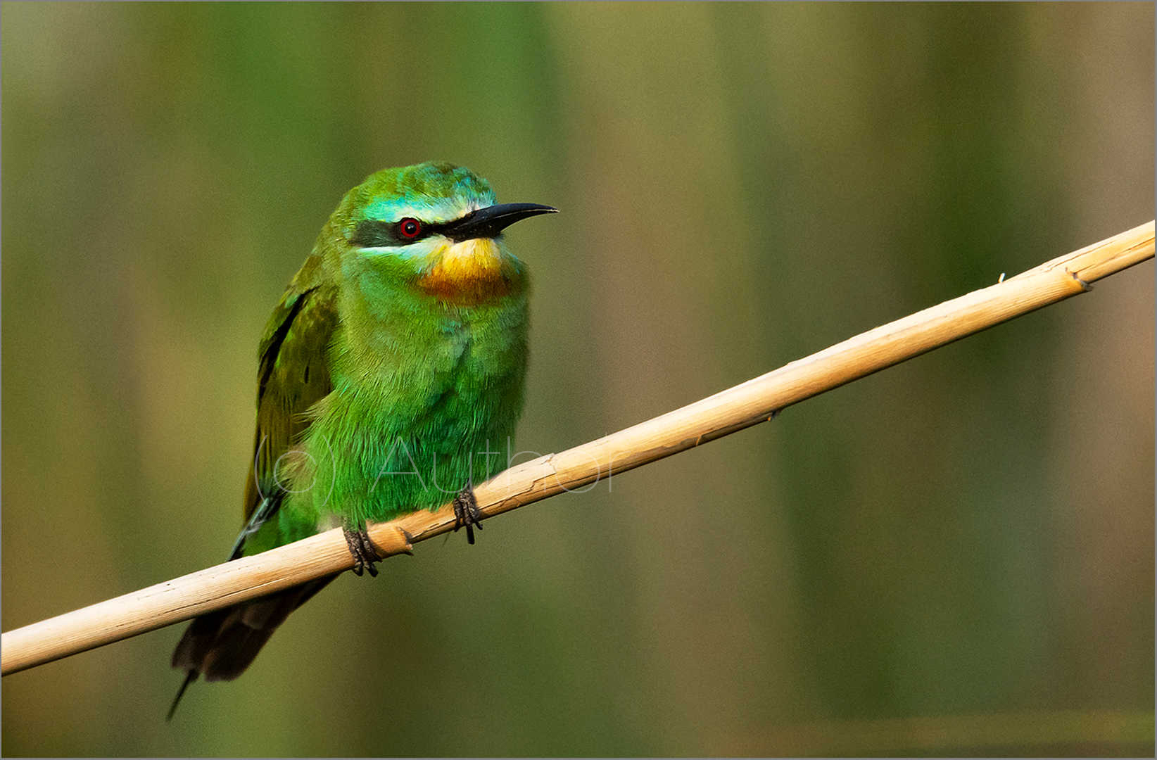 1_NA_Blue Cheeked Bee Eater_Linda Carter