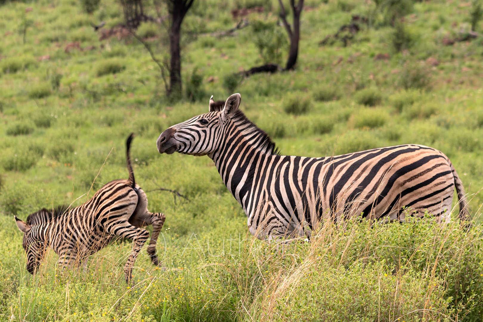 2_NA_Frisky Zebra Calf_Andrew Mayes