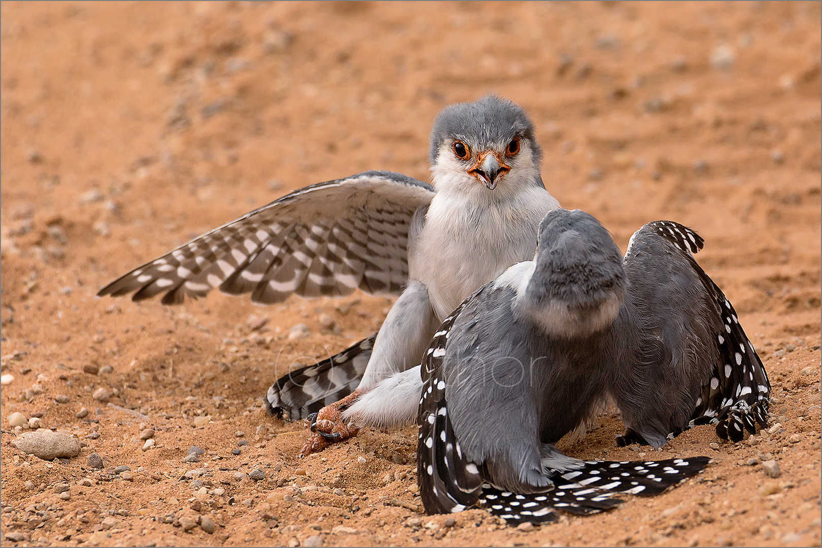 5_NA_Pygmy Falcon Conflict_Natasha Bird
