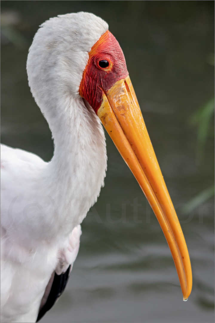 2_NA_Yellowbilled Stork_Andrew Mayes