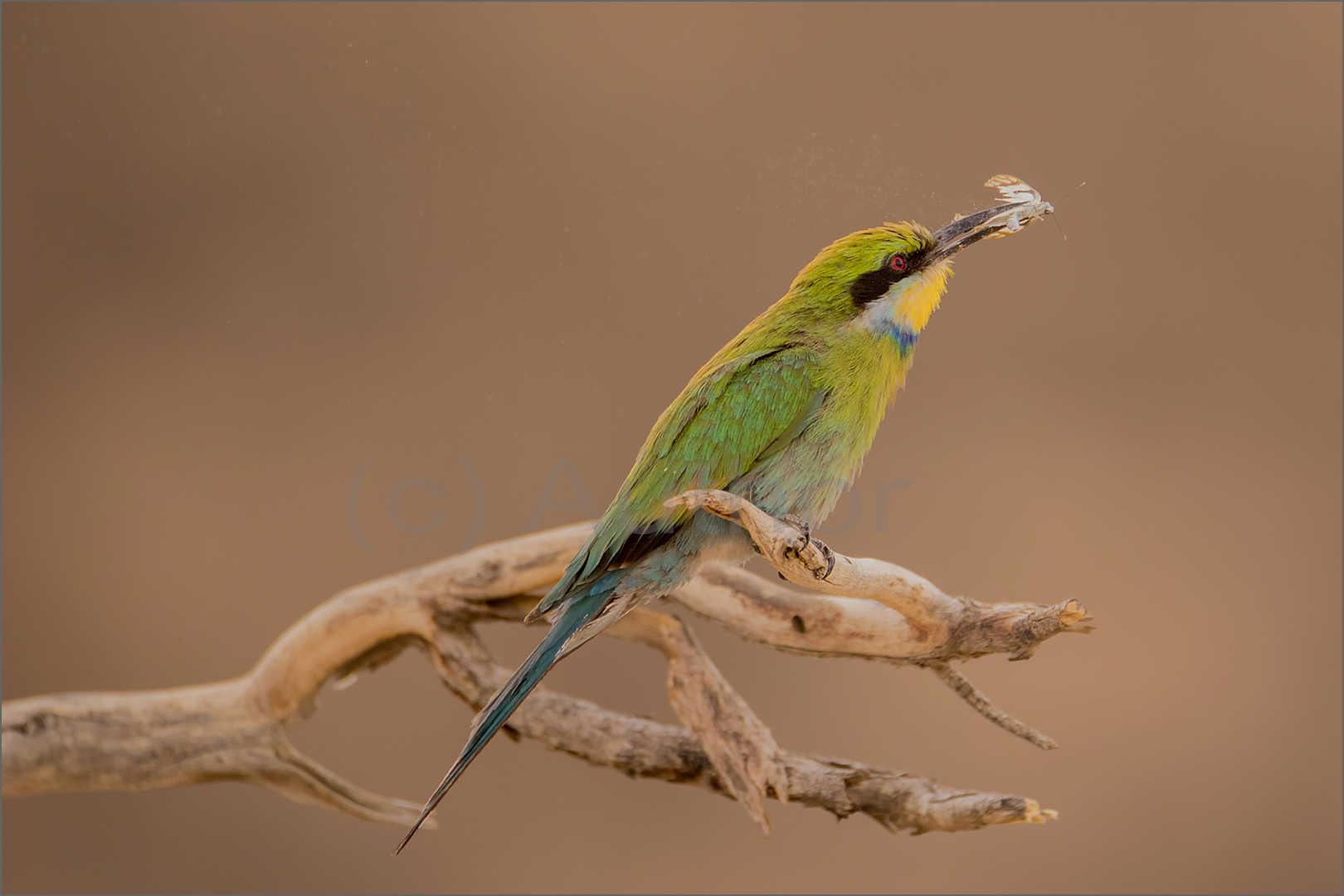5_NA_Swallow tailed bee eater snack_Natasha Bird