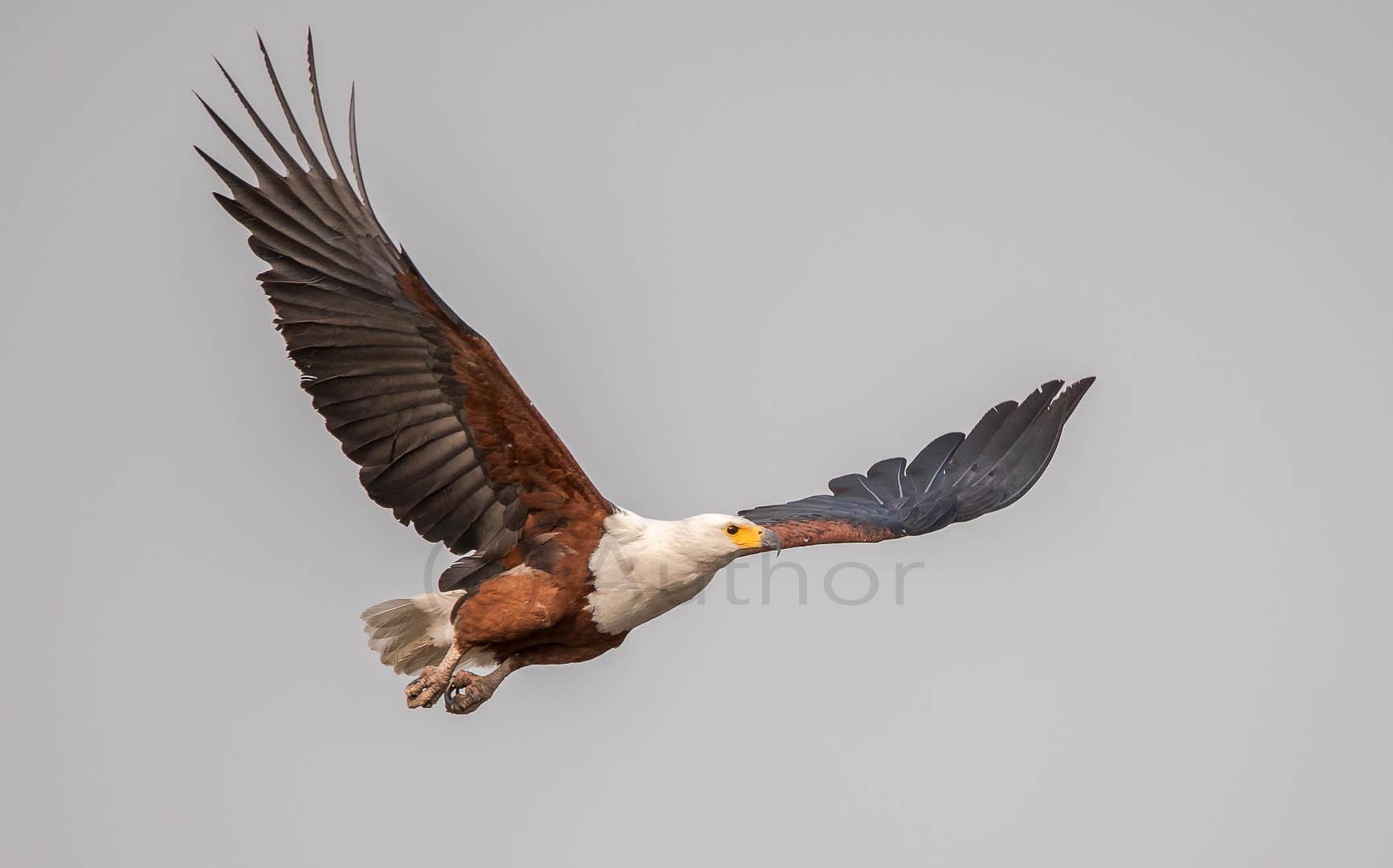 3_NA_fish eagle_Augusto dias