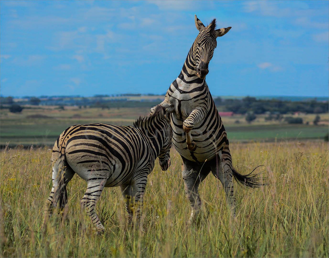 3_NA_Zebra Fight_Brian Kleinwort