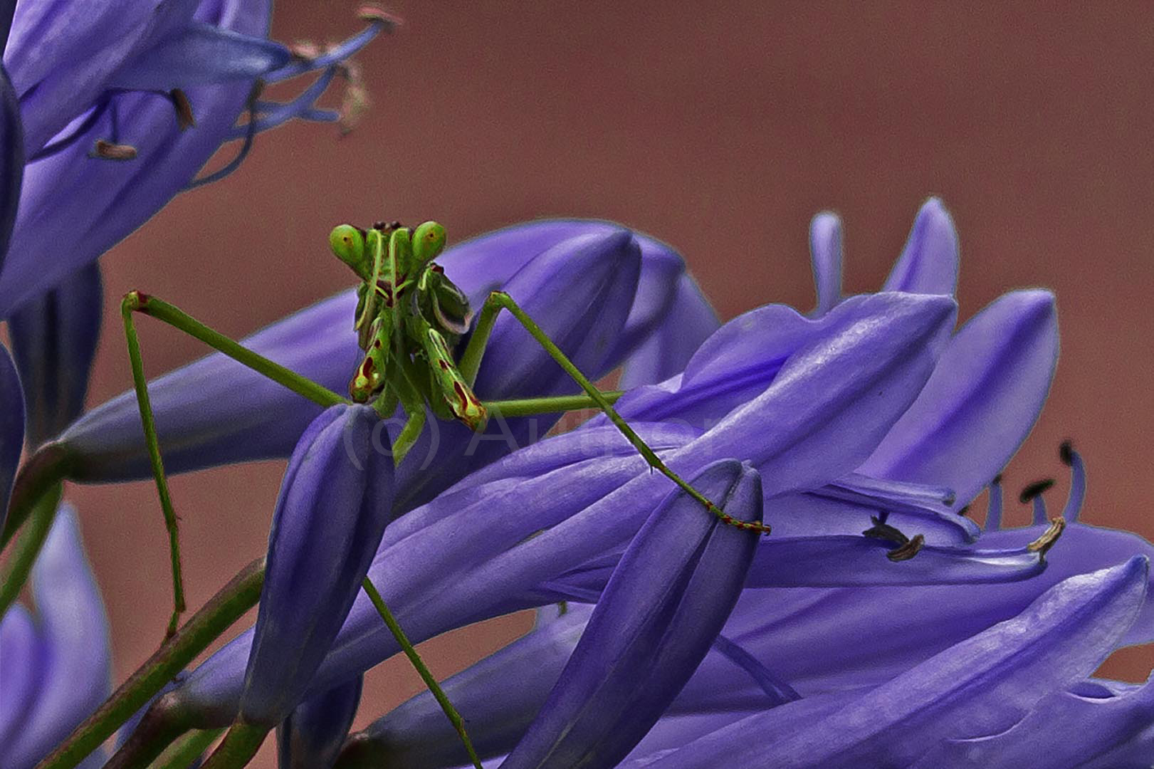 2_PI_Happy Mantis_Andrew Mayes