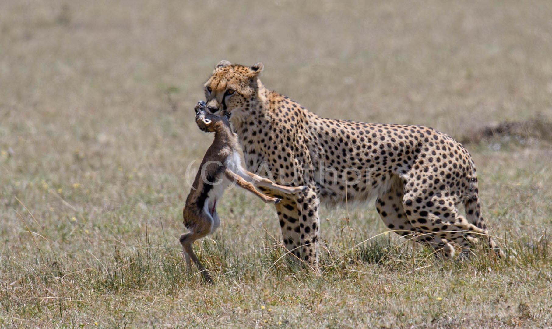 1_NA_Cheetah with prey_Gavin Duffy