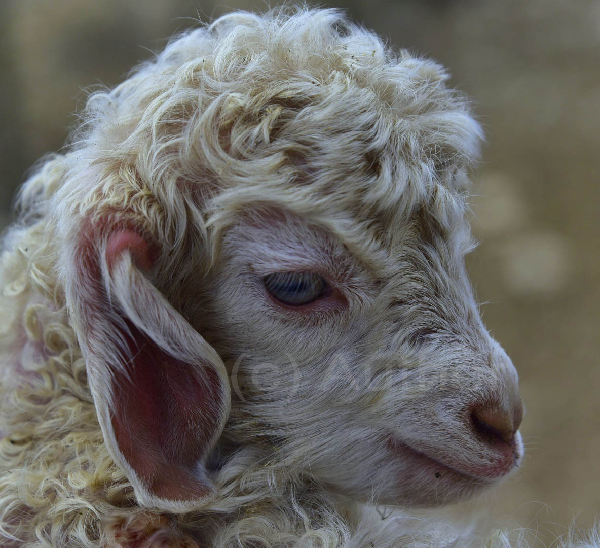 4_NA_Blue eyed Angora kid_Christa Smith