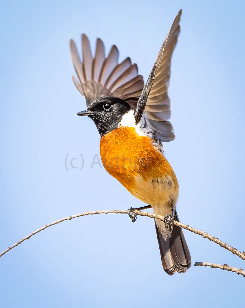 1_NA_African stonechat_Peter Fine