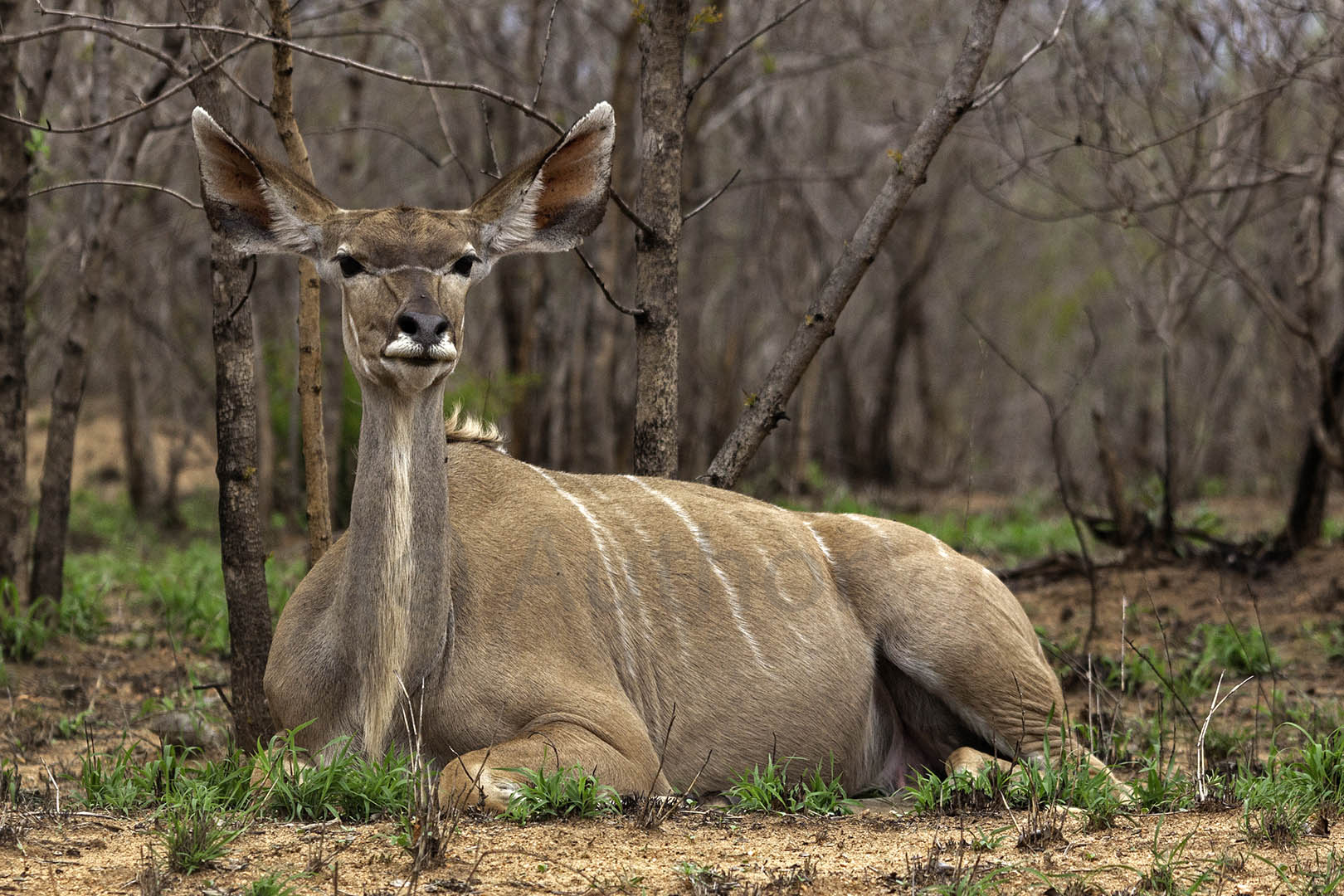 2_NA_Kudu at Rest_Andrew Mayes