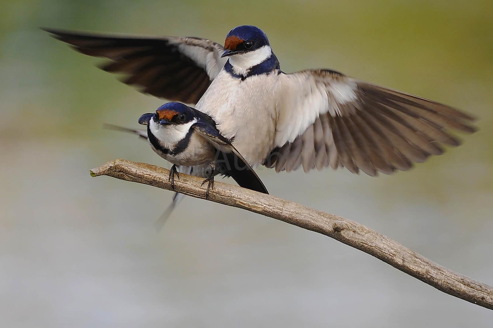 4_NA_mating swallows_des alexander