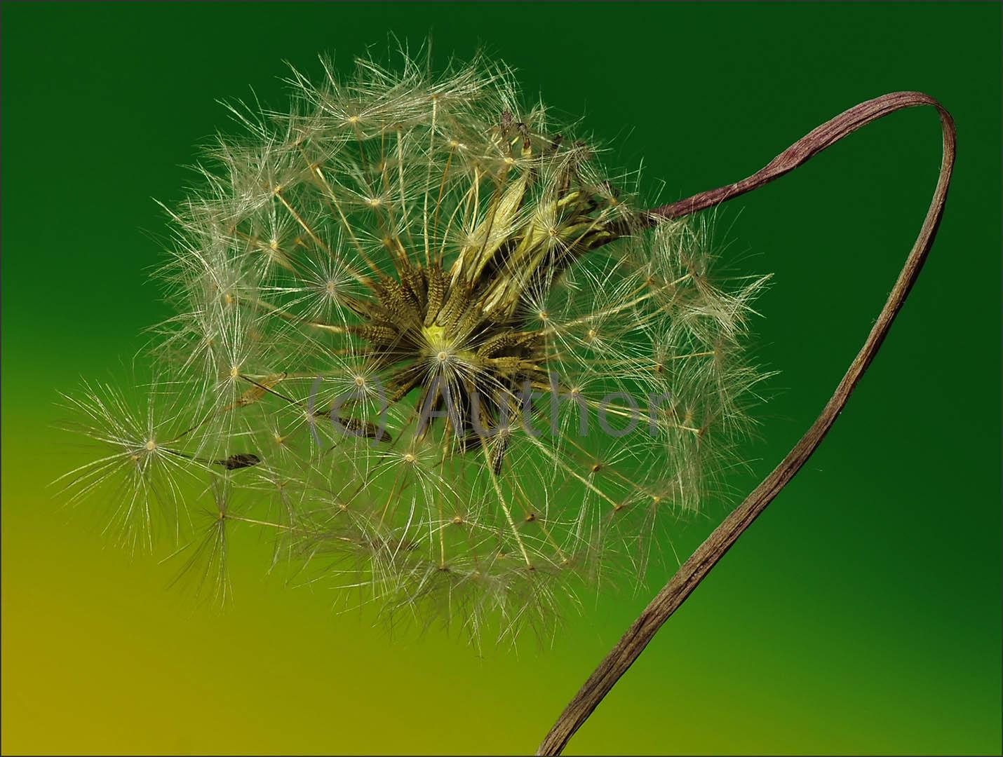 4_PI_death of a dandelion_des alexander