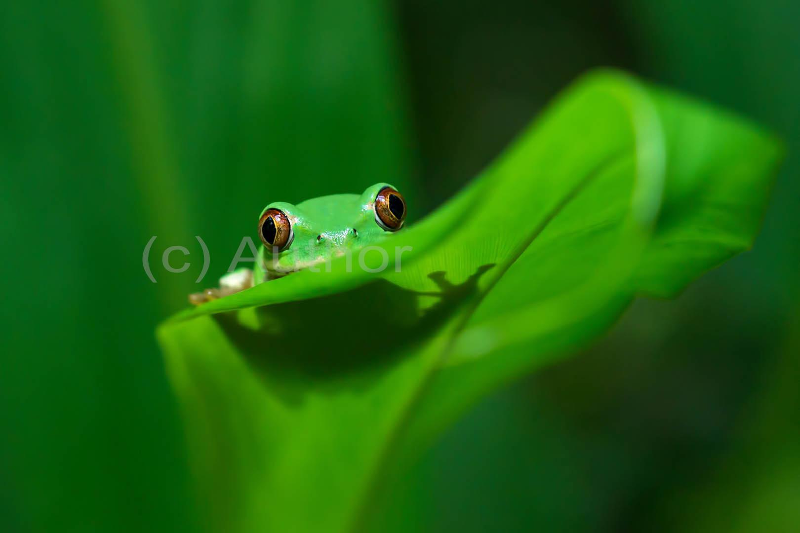 5_NA_Natal Tree Frog_Vicki Street