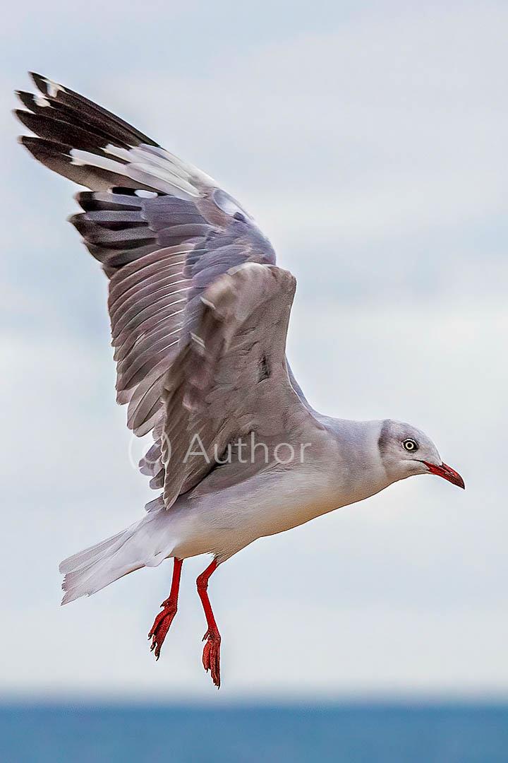 1_NA_grey-headed gull_Peter Fine