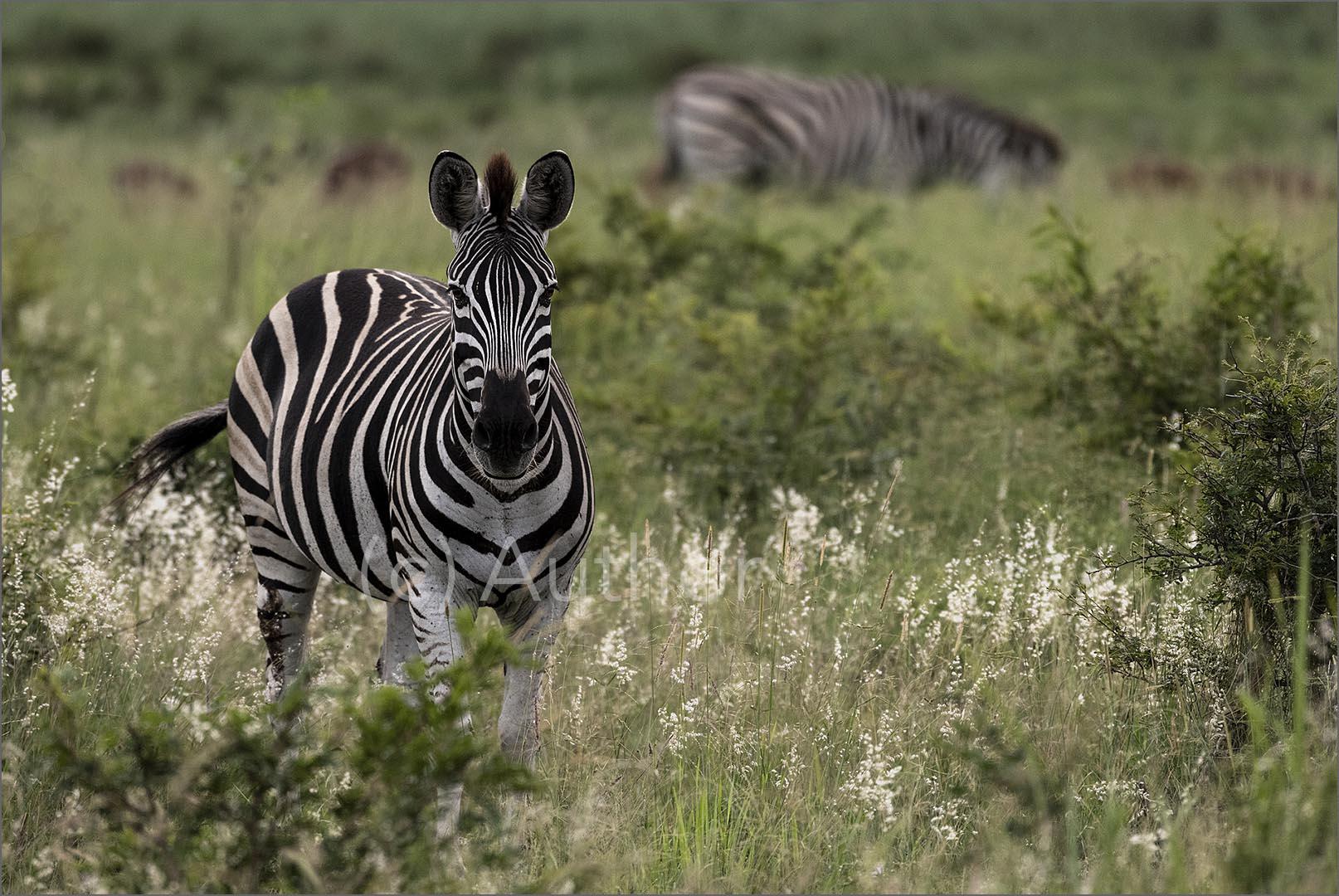 2_NA_Zebra in the Swamplands_Linda Carter