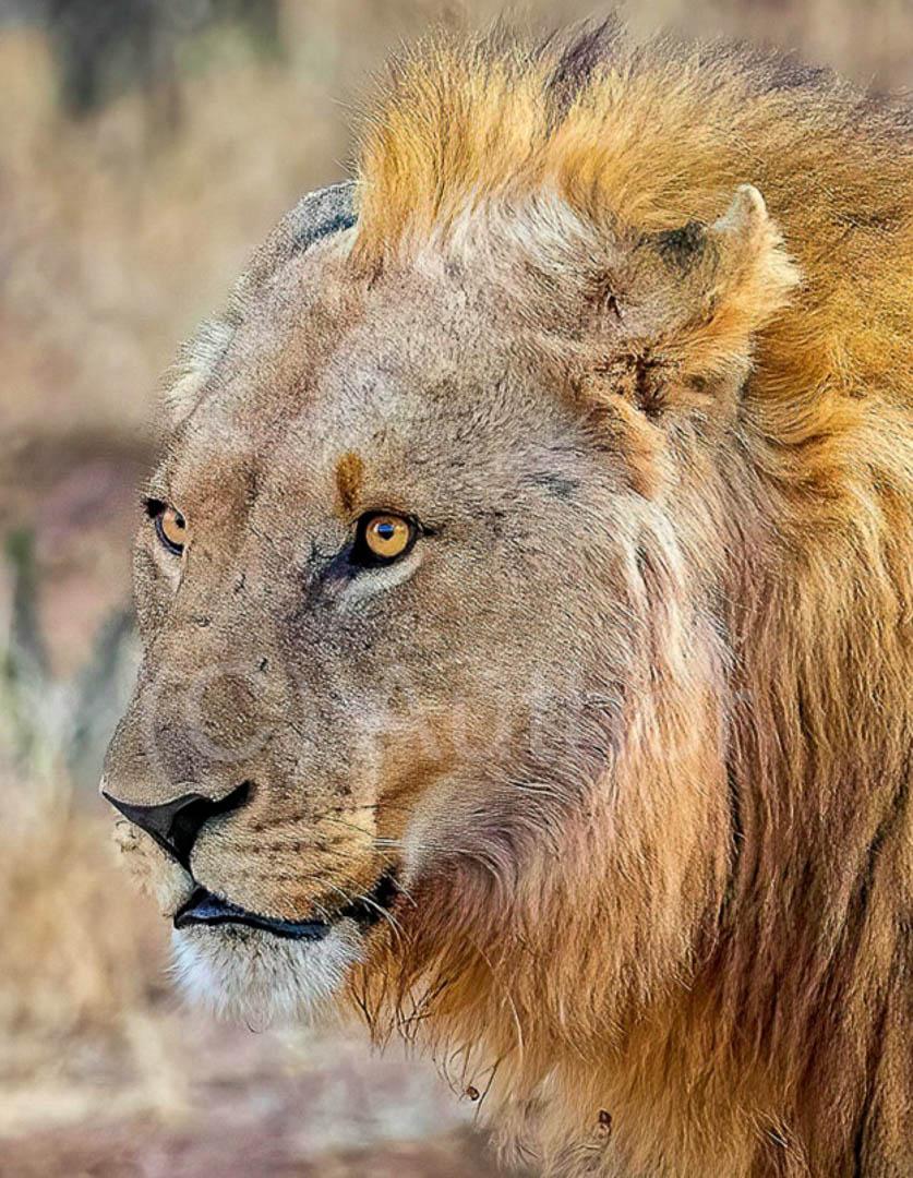 1_NA_Lion head_Peter Fine