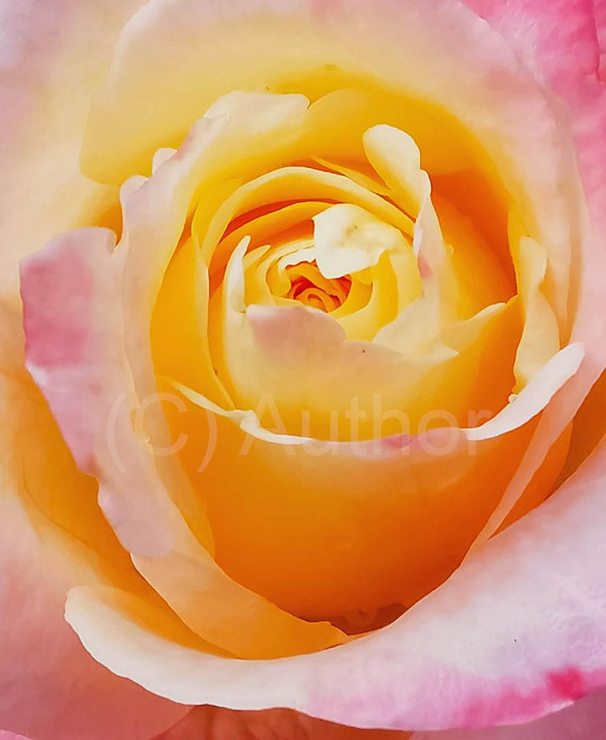 3_CP_rose heart_Caryn Wilson
