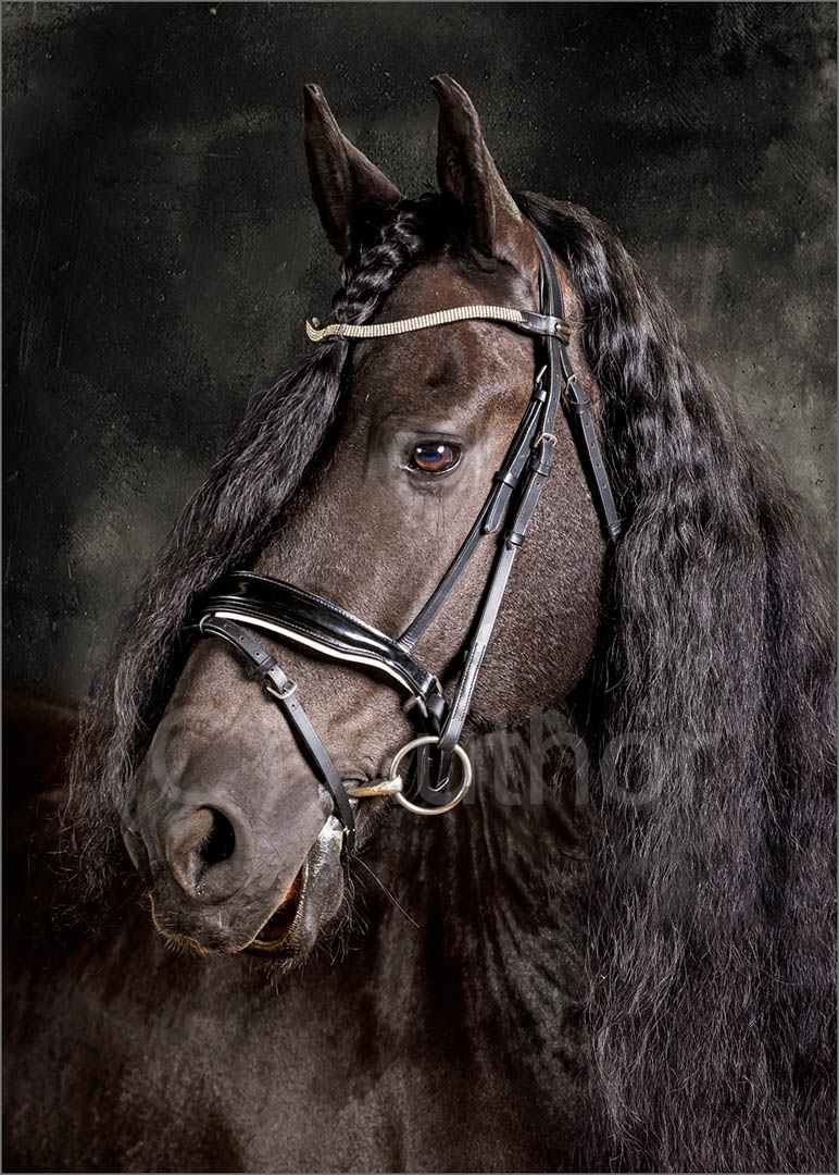 3_PI_Portrait of a Beautiful Friesian _Stephen Kangisser