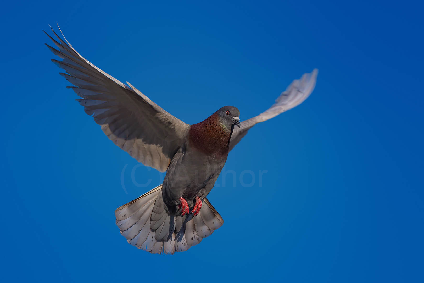 5_NA_Common Pigeon in Flight_Gary Andrew Peck
