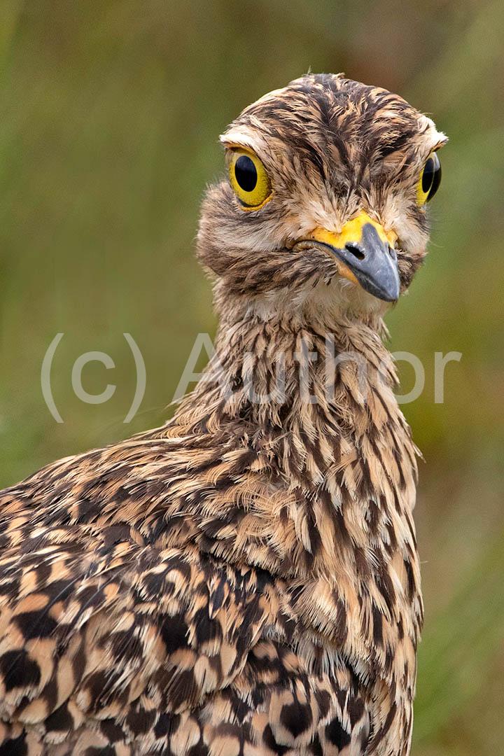 3_PI_Big eyed bird_Andrew Mayes