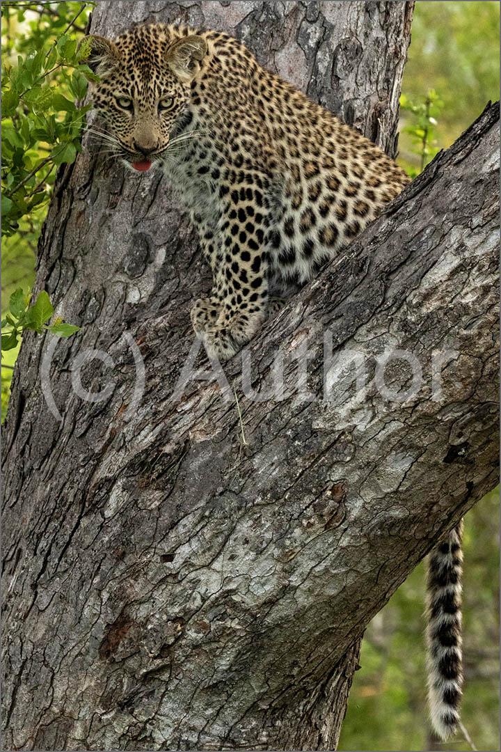 4_NA_Leopard Cub on a Branch _Stephen Kangisser
