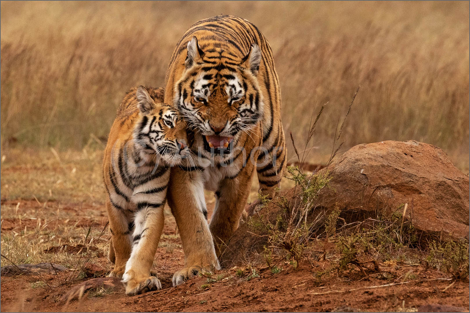 4_NA_Tiger Love _Stephen Kangisser