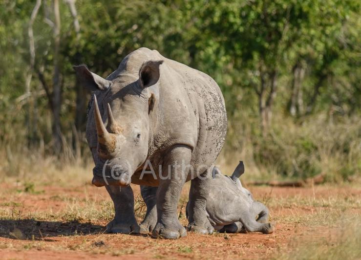 2_NA_Protective Rhino Cow and Calf_Gavin Duffy