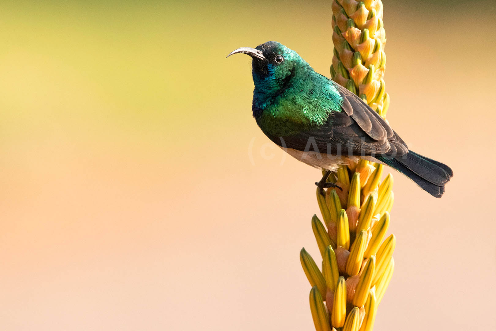 3_NA_White Bellied Sunbird_Andrew Mayes