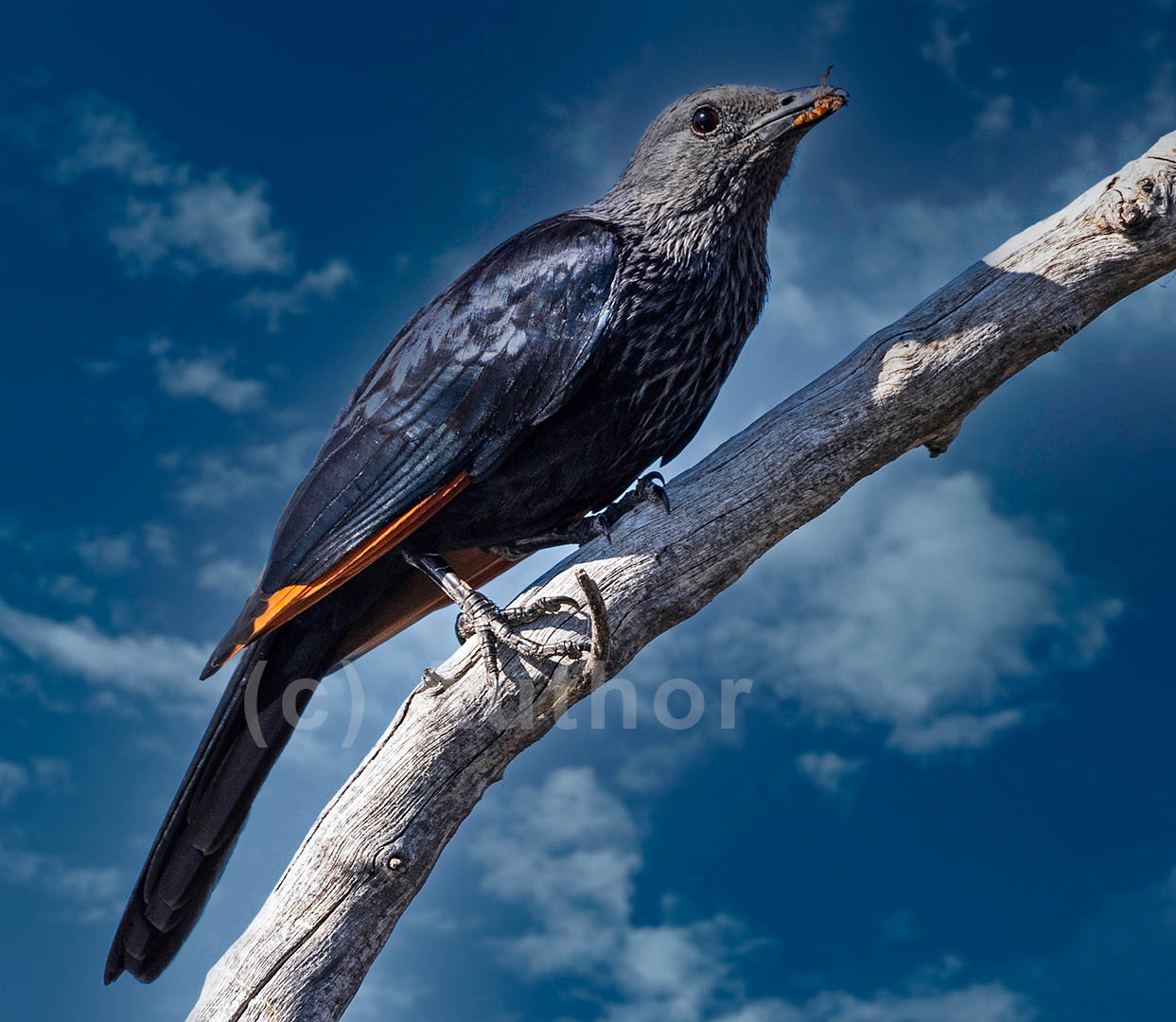 3_PI_Redwinged Starling_Andrew Mayes