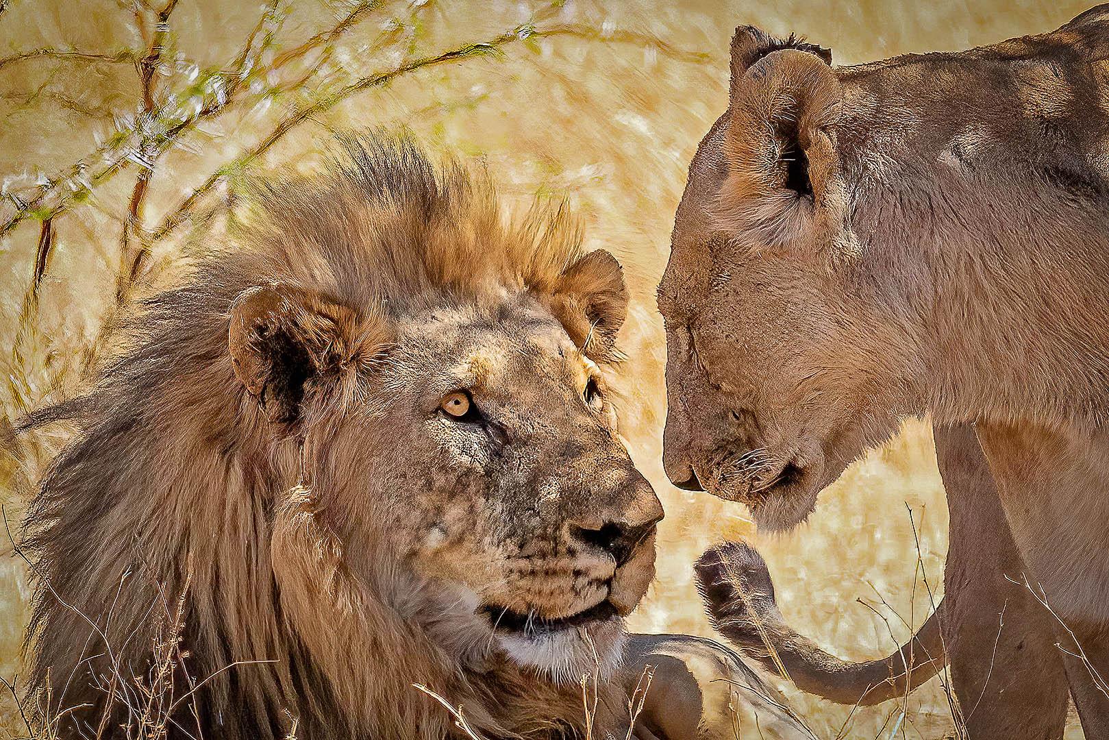2_NA_lion loving gaze_Peter Fine