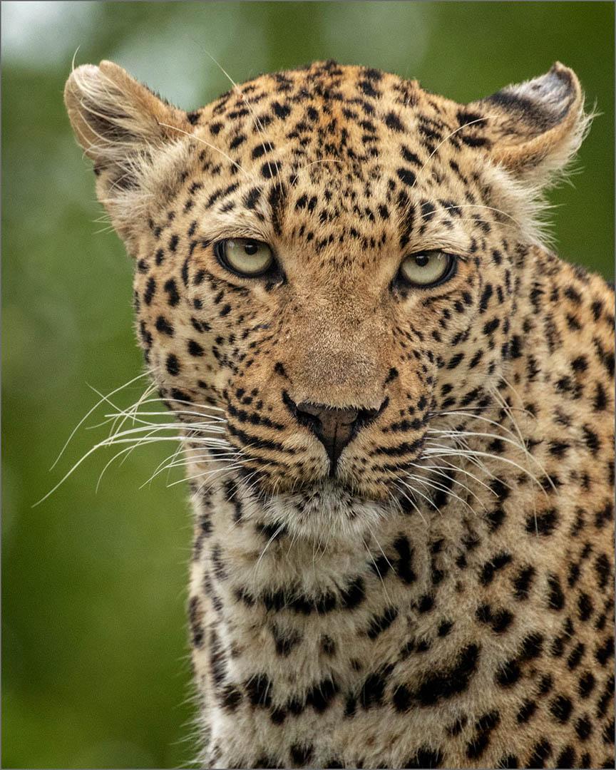 4_NA_Leopard Stare _Stephen Kangisser