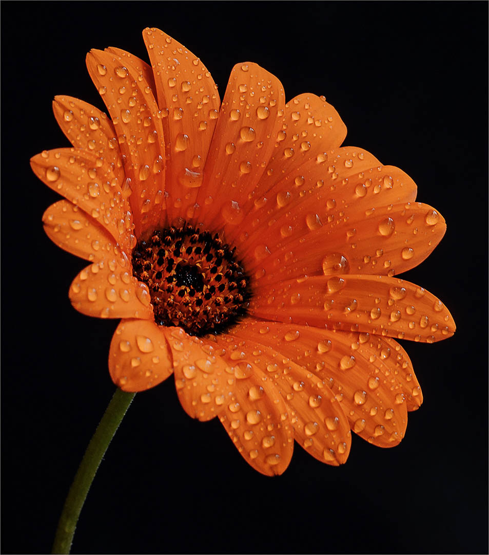 5_PI_Burnt Orange_Dino Bottega