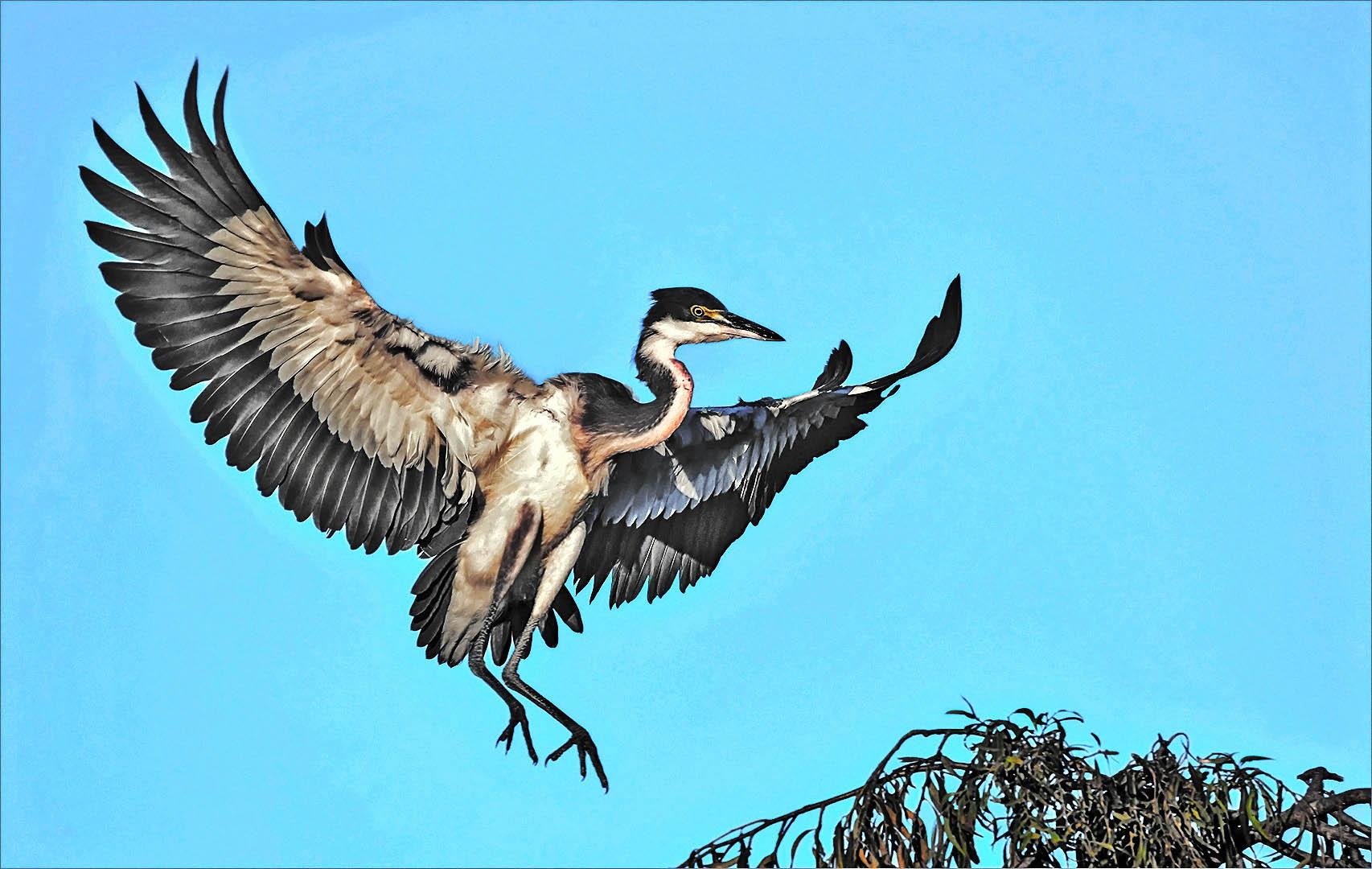 3_NA_Black headed heron Landing_Brian Kleinwort