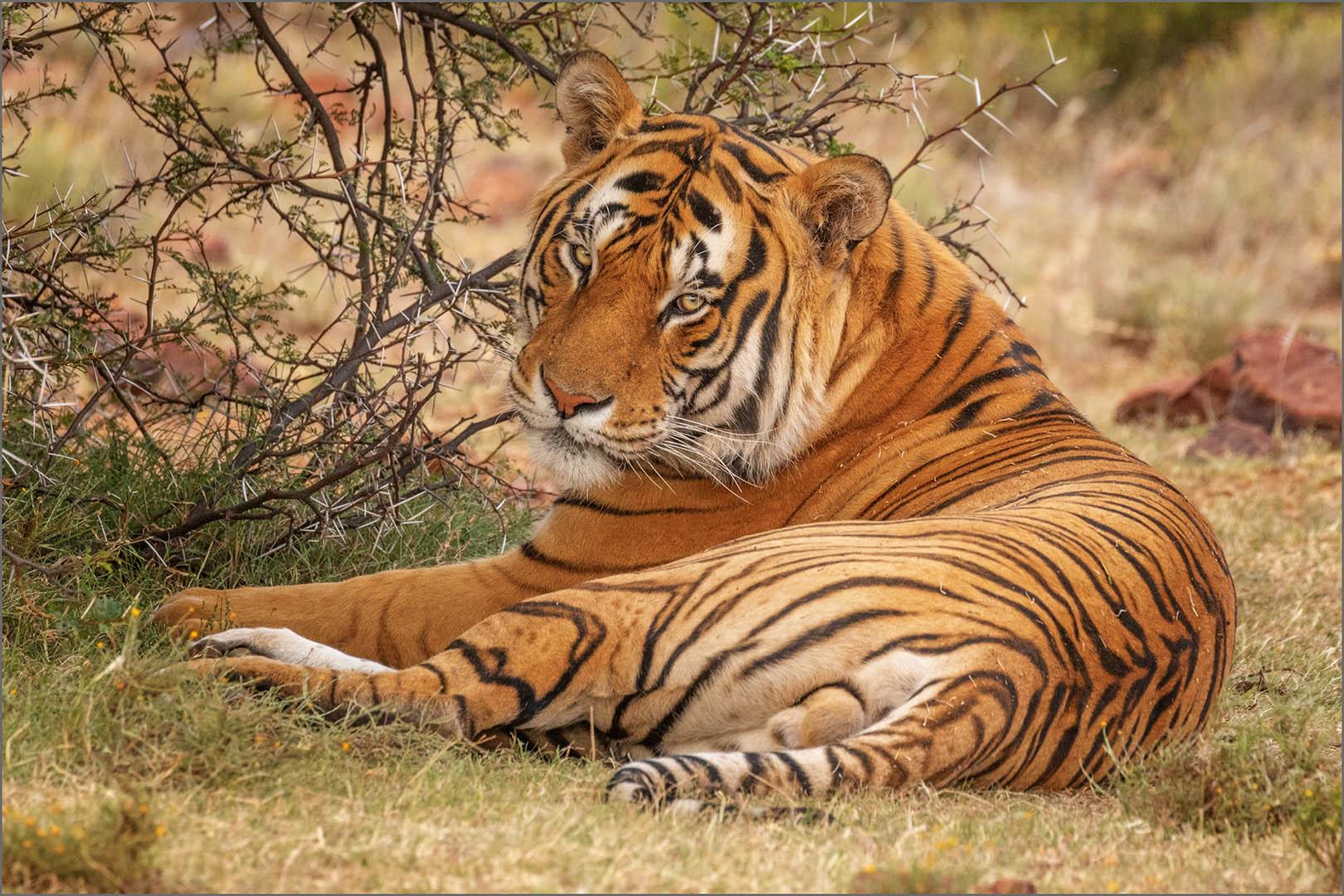 4_NA_Eye of the Tiger _Stephen Kangisser