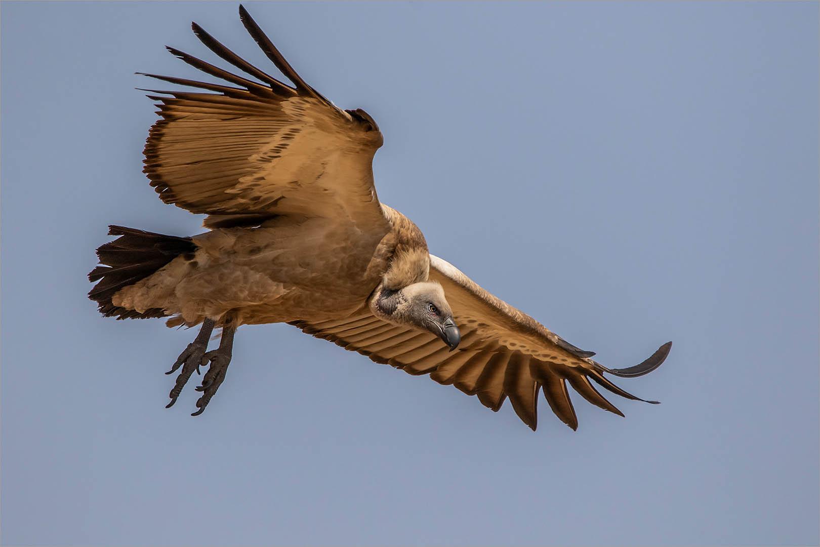 5_NA_Cape Vulture Approach_Ted Kinsman